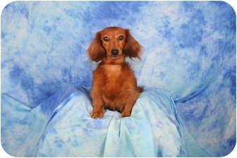 Dachshund Dog for adoption in Ft. Myers, Florida - Autumn