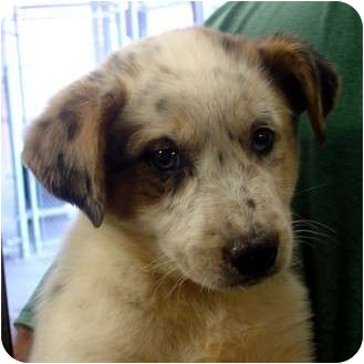 Australian Shepherd/Australian Cattle Dog Mix Puppy for adoption in Manassas, Virginia - Violet