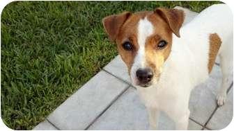 Jack Russell Terrier Dog for adoption in Ocean Ridge, Florida - Chloe