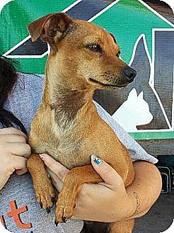 Dachshund/Chihuahua Mix Dog for adoption in Porter Ranch, California - Chloe Jean(PRA)