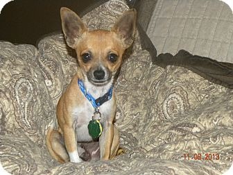 Chihuahua Mix Dog for adoption in Fort Collins, Colorado - FRANKIE