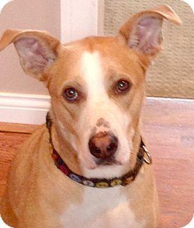 Labrador Retriever Mix Dog for adoption in Cincinnati, Ohio - Chester