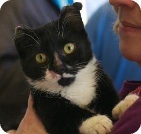 Domestic Shorthair Cat for adoption in New York, New York - Spirit
