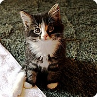 Adopt A Pet :: Sasha - Nolensville, TN
