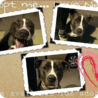 American Staffordshire Terrier Mix Dog for adoption in Luckenbach, Texas - Nina