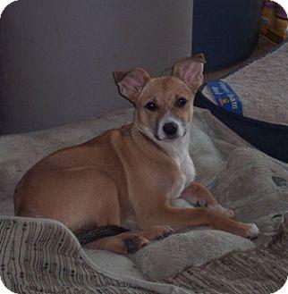 Basenji/Shepherd (Unknown Type) Mix Puppy for adoption in McArthur, Ohio - MATTHEW