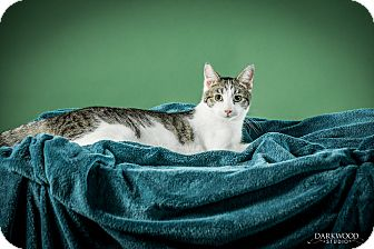 Domestic Shorthair Cat for adoption in St. Louis, Missouri - Ernest
