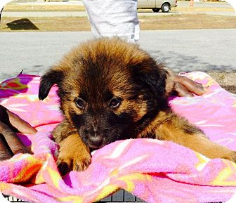 Chow Chow/Shepherd (Unknown Type) Mix Puppy for adoption in Dillon, South Carolina - Brenda Jo