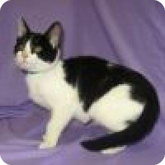 Domestic Shorthair Cat for adoption in Powell, Ohio - Amelia
