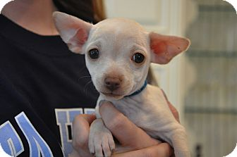 Chihuahua Mix Puppy for adoption in Milton, New York - Rocket