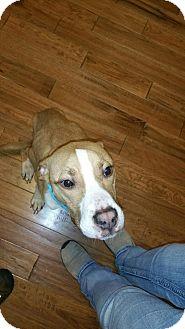 Pit Bull Terrier Mix Dog for adoption in Middletown, Ohio - Samuel