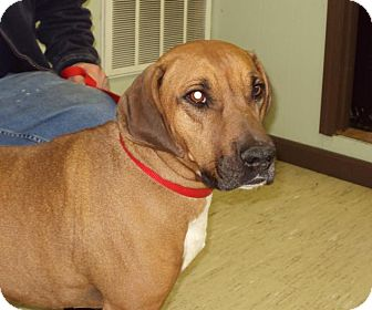 Boxer/Hound (Unknown Type) Mix Dog for adoption in Mt. Vernon, Illinois - Regal