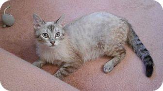 Siamese Cat for adoption in Toledo, Ohio - Brick