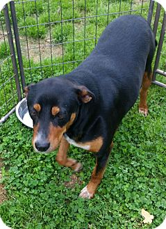 Manchester Terrier/Hound (Unknown Type) Mix Dog for adoption in Somers, Connecticut - Henry