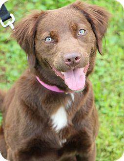 English Springer Spaniel/Labrador Retriever Mix Dog for adoption in Woodlyn, Pennsylvania - Mocha