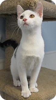 Domestic Shorthair Cat for adoption in Knoxville, Iowa - Jack