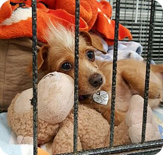 Dachshund/Terrier (Unknown Type, Small) Mix Dog for adoption in North Hollywood, California - Ollie