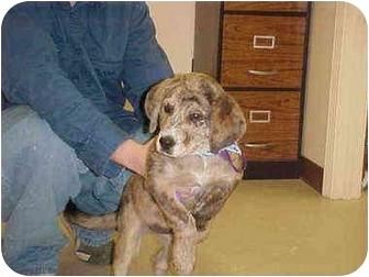 Mastiff Mix Puppy for adoption in Burnsville, North Carolina - Bear