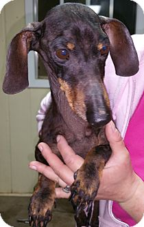 Dachshund Mix Dog for adoption in Pilot Point, Texas - HARVEY