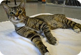 Domestic Shorthair Cat for adoption in Michigan City, Indiana - Titus
