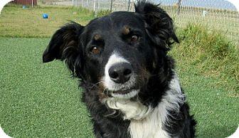 Bernese Mountain Dog/Border Collie Mix Dog for adoption in Lloydminster, Alberta - Bohe