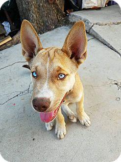 Husky Mix Dog for adoption in LAKEWOOD, California - Max