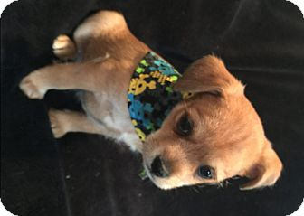 Terrier (Unknown Type, Small) Mix Puppy for adoption in South San Francisco, California - Percy