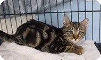 Domestic Shorthair Cat for adoption in West Palm Beach, Florida - Bella