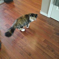 Calico Cat for adoption in Wasilla, Alaska - Ghost, Pumpkin, and Tuffy (3 Cats)