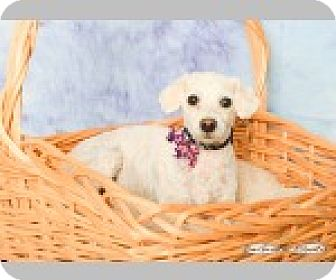 Poodle (Standard) Dog for adoption in Pittsboro, North Carolina - Shirley Temple
