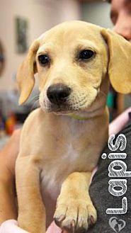 Labrador Retriever Mix Dog for adoption in Newport, Kentucky - Lapis