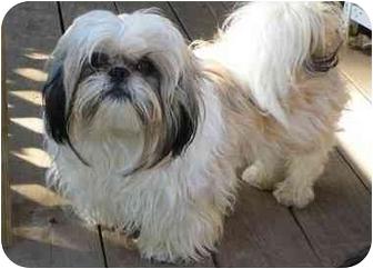 Shih Tzu Puppy for adoption in Dayton, Ohio - Timothy
