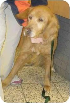Golden Retriever Dog for adoption in Cleveland, Ohio - Shala