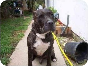 Cane Corso Dog for adoption in Sacramento, California - Milo