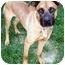 Photo 4 - Boxer/Shepherd (Unknown Type) Mix Dog for adoption in Latrobe, Pennsylvania - Norman