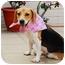 Photo 1 - Beagle Mix Dog for adoption in Encino, California - Kelly