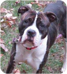 Boxer/Pit Bull Terrier Mix Dog for adoption in Bloomfield, Connecticut - Desert Rose