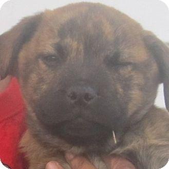 Mastiff/Boxer Mix Puppy for adoption in Oswego, Illinois - I'M ADOPTED Kong Soto