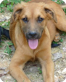 German Shepherd Dog/Hound (Unknown Type) Mix Puppy for adoption in Brattleboro, Vermont - ASTER