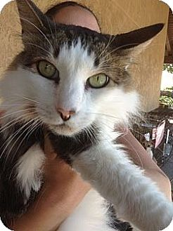 Norwegian Forest Cat Cat for adoption in Santee, California - Forest