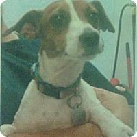 Adopt A Pet :: Belle Star in Tulsa - Oklahoma City, OK