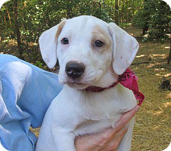 Dalmatian/Labrador Retriever Mix Puppy for adoption in Albany, New York - Ruby