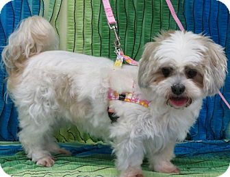 Shih Tzu/Lhasa Apso Mix Dog for adoption in Eden Prairie, Minnesota - LUCY LOU-pending