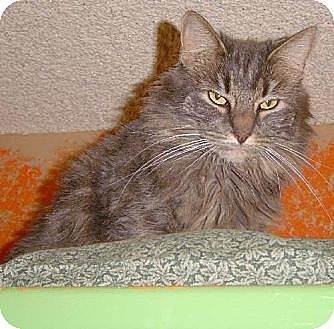 Domestic Mediumhair Cat for adoption in Sherman Oaks, California - Nikki - sponsor only