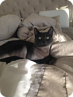 Russian Blue Cat for adoption in Los Angeles, California - Winston