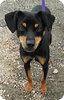 Miniature Pinscher Puppy for adoption in Houston, Texas - Xena
