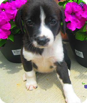 Border Collie/Labrador Retriever Mix Puppy for adoption in Schaumburg, Illinois - Kona