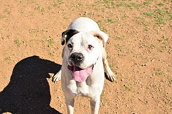Boxer Mix Dog for adoption in Acton, California - Arlo