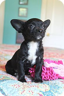 Boston Terrier/Pug Mix Puppy for adoption in Bedminster, New Jersey - Primrose