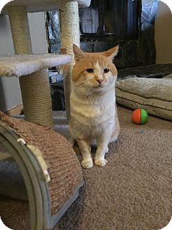 Domestic Shorthair Cat for adoption in Anchorage, Alaska - Harrison